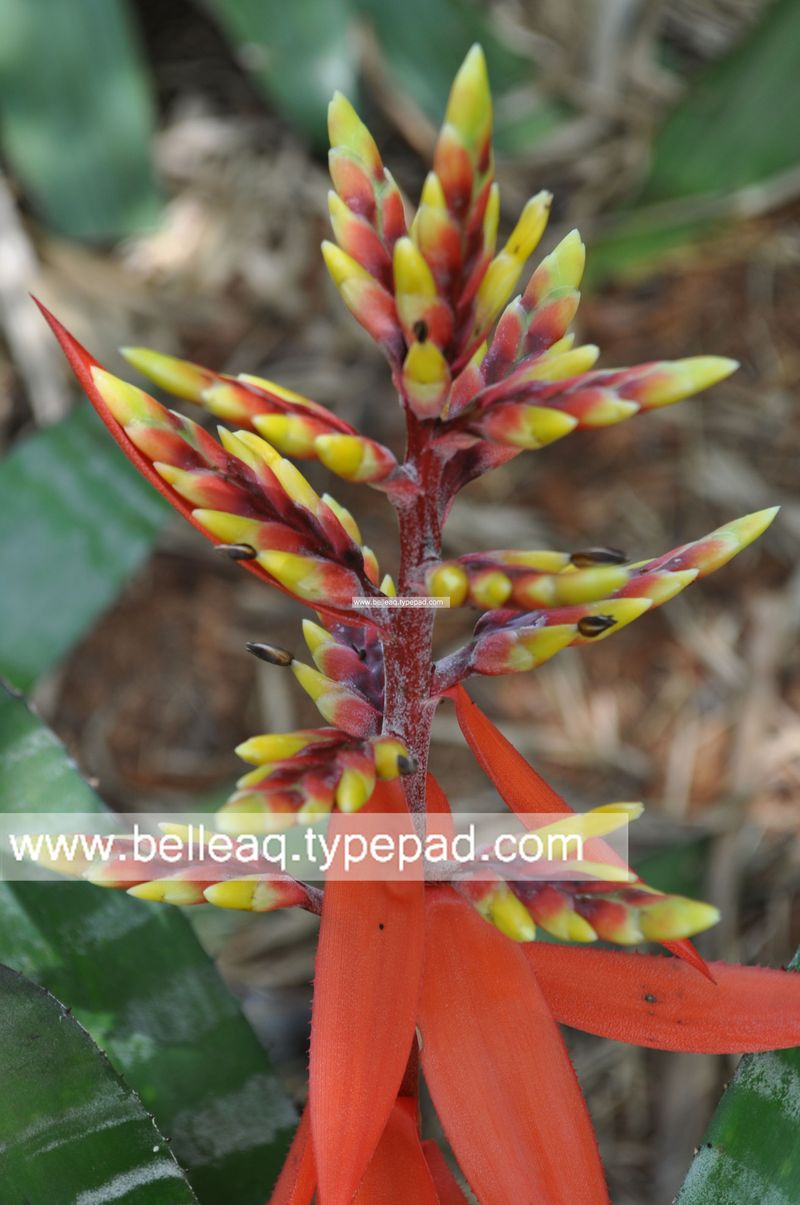 Chantinii Bromeliad, Miami Gardener, Miami Landscape, Belle Aquarium and Garden