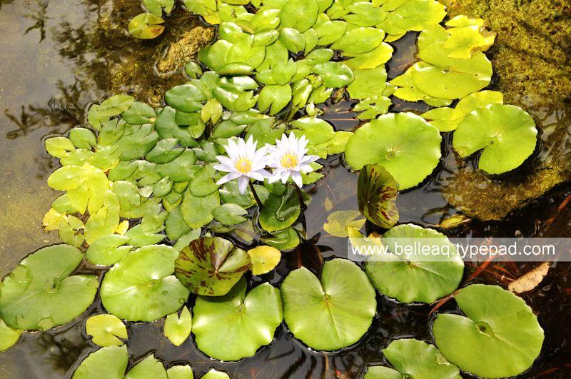 Lillypad, Pond, Miami Pond, Aquatic Plant, Belle Aquarium and Garden Design,