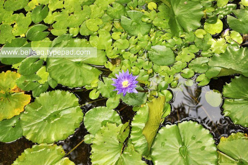 Lillypad, Belle Aquarium and Garden Design, Aquatic Plant, MIami Pond, Miami Landscape