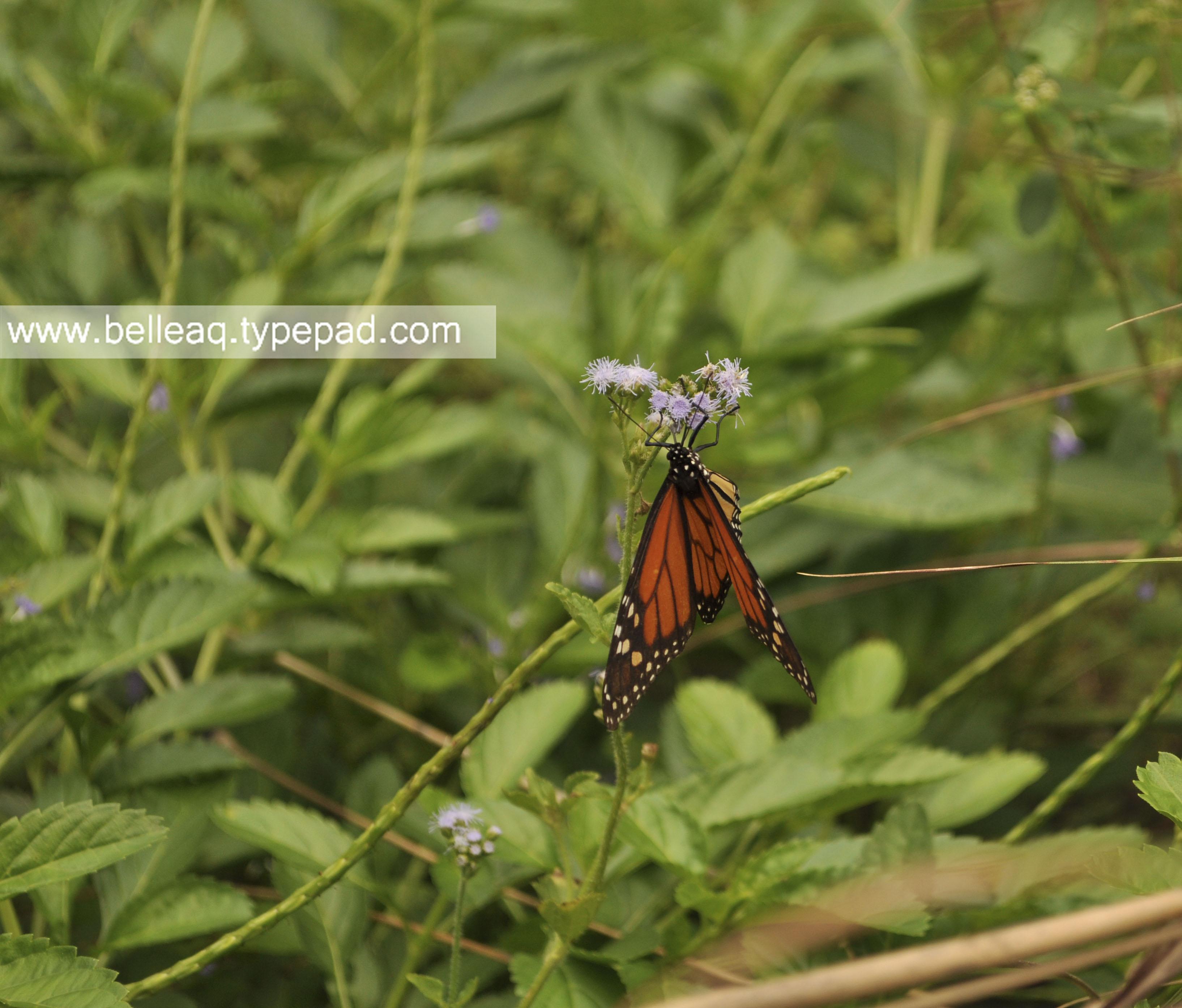 Butterfly Gardening In Florida Belle Aquarium And Garden Design, Miami  Garden Design